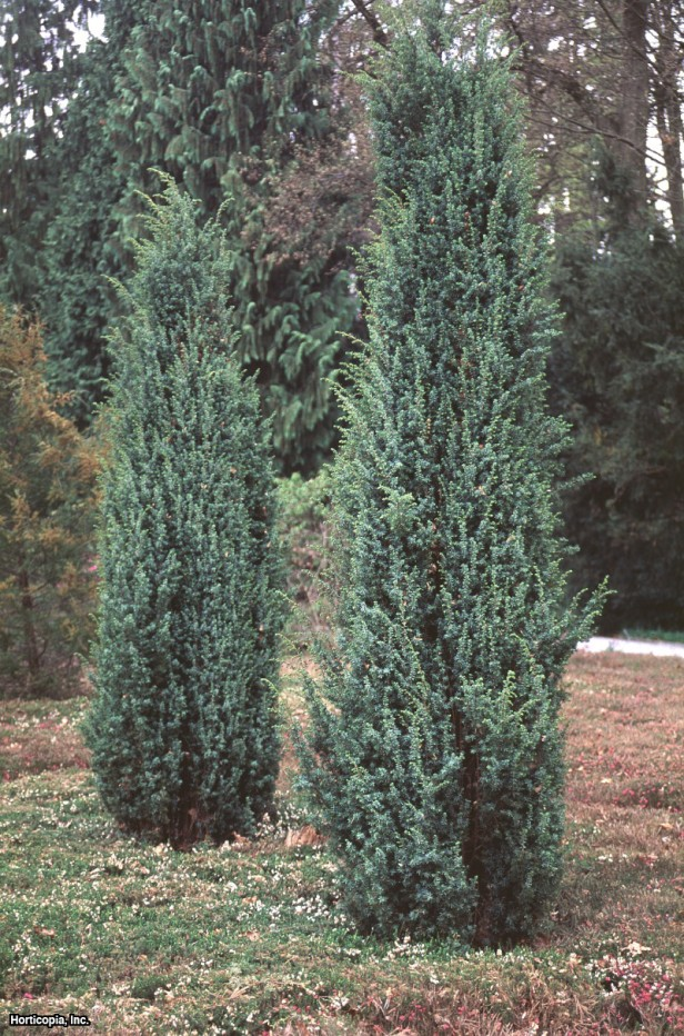 juniperus communis hibernica greenway rasadnik in ija. Black Bedroom Furniture Sets. Home Design Ideas