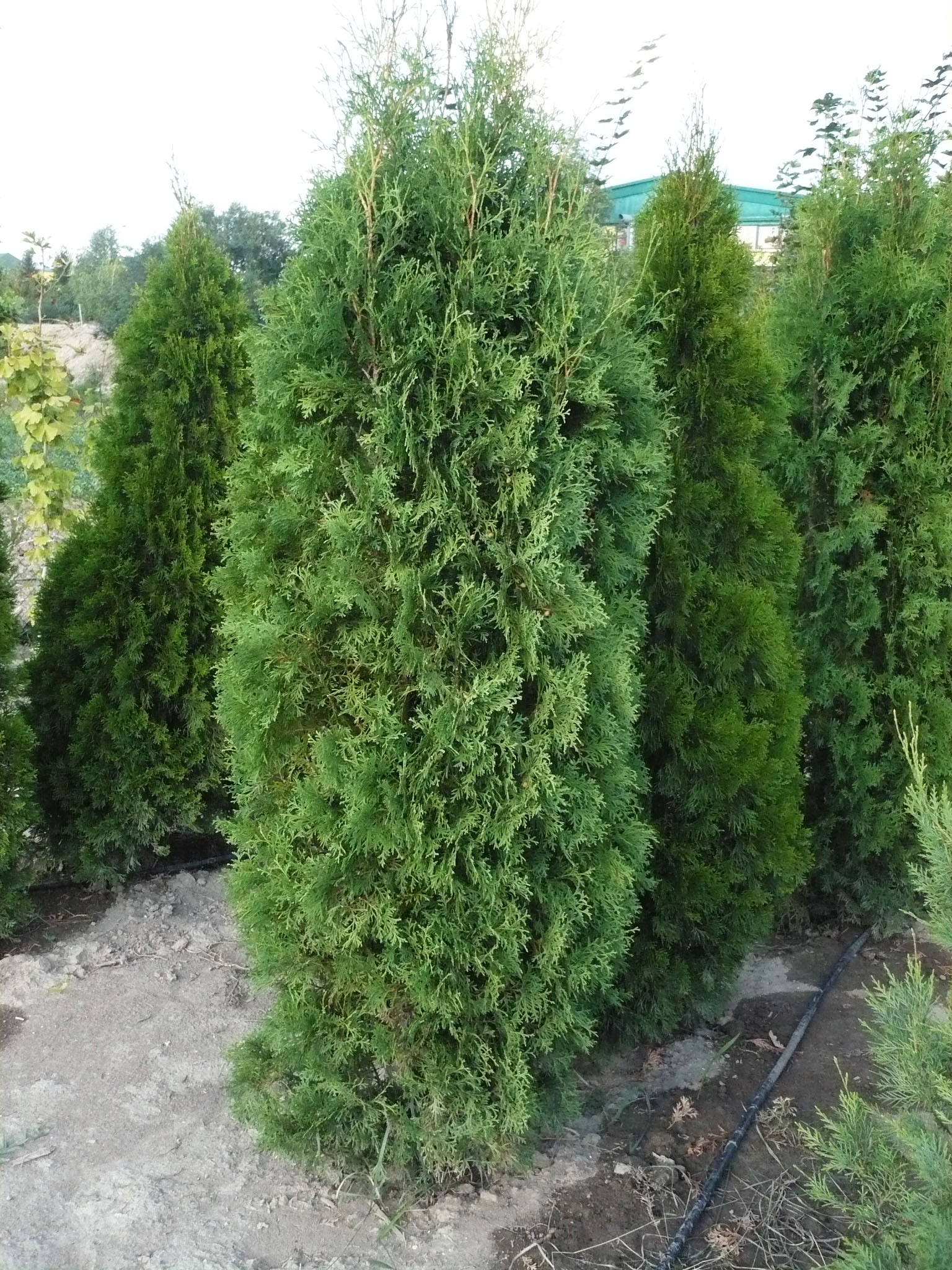 thuja occidentalis columna greenway rasadnik in ija. Black Bedroom Furniture Sets. Home Design Ideas